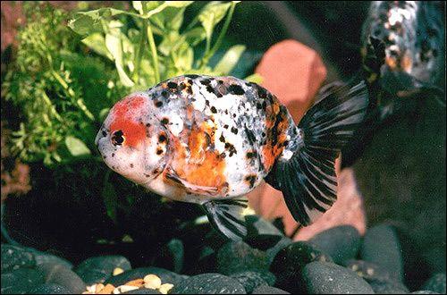Коропові рибки