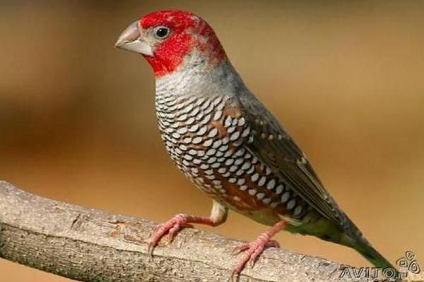 Красноголовная попугайная амадина