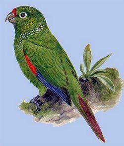 Краснохвостий папуга ель ороpyrrhura orcesi