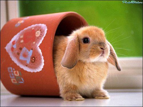 Карликовий кролик в чашці. Фото, фотографія картинка