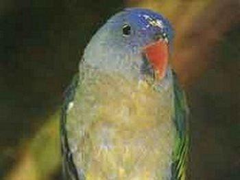 Красноплечий папуга (psittinus cyanurus)