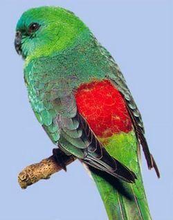 Красноспінний співочий попугайpsephotus haematonotus