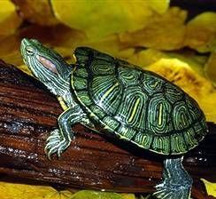 Червоновуха черепаха: утримання, догляд, годування