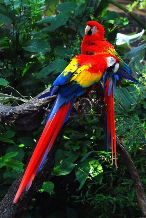 Червоний ара або ара макао (араканга) ara macao