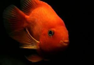 Червоний папуга (риба-папуга)