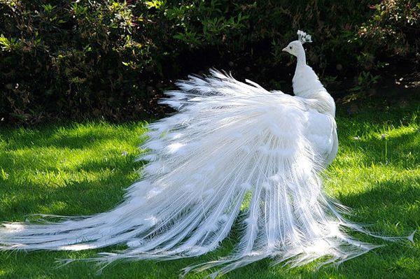 Краса і грація павича альбіноса