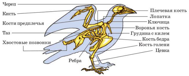 Короткий екскурс в анатомію голубів