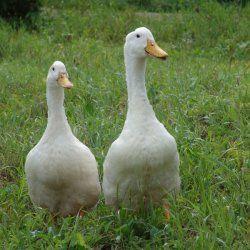 Дві важливі качки Благоварского породи