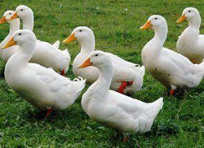 Міцні і сильні качки благоварского породи