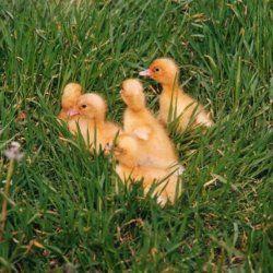 Благоварского каченята в траві