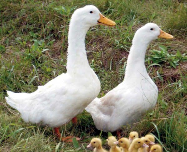 Дві Благоварского качки в профіль