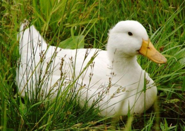 Благоварского качка в траві