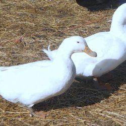 Благоварского качки у дворі