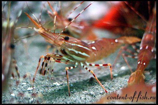 Креветки акваріумні