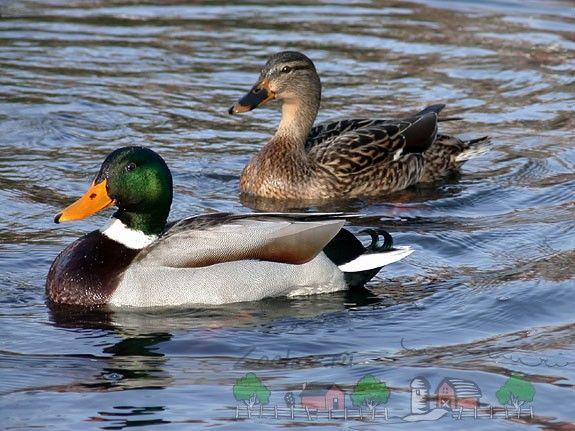 Фото птахів плаваючих по воді