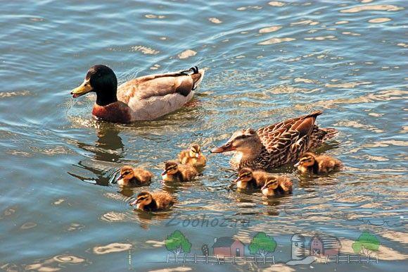 Фото плаваючих качок і каченят
