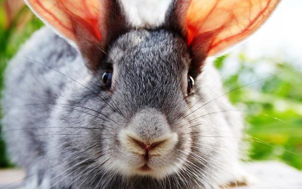 Кроляча напасть - вушний кліщ: симптоми і лікування