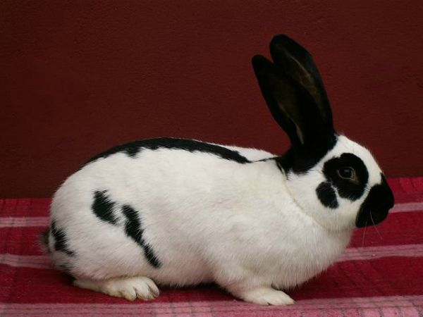 Кролик метелик: опис і розведення породи