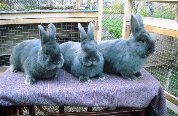 Кролик благородного забарвлення - віденський блакитний