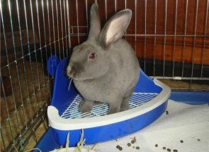 Кролик-чистюля або як навчити ходити на лоток