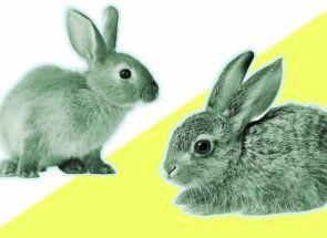 Кролик або заєць: а в чому відмінність?