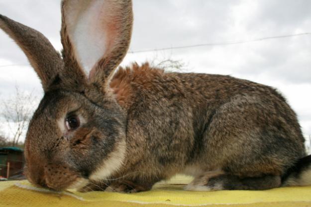величезний кролик