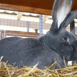 Темно-сірий кролик