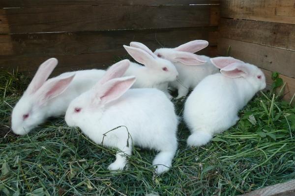 Кролики білий велетень - продуктивна шкуро-м`ясна порода