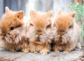 Кролики декоративні - милі звірята для будинку
