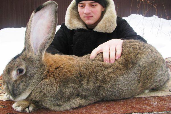 Кролики ризен, або німецький гігант