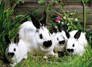 Кролики з оригінальним забарвленням і назвою - метелик