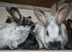 Кролики в господарстві: основні породи