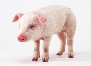 Велика біла свиня: огляд породи, її характеристика та фотогалерея