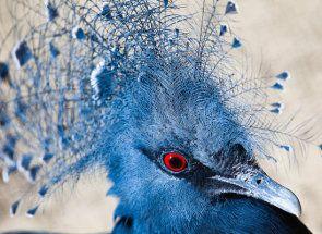 Великий представник з сімейства голубиних - вінценосний пернатий