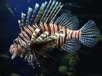 Крилатка або риба-зебра