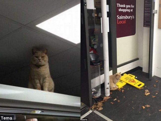 В лондоні рудий кіт окупував супермаркет