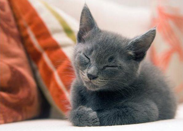 муркоче кішка