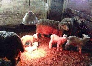 Куйбишевський вівці - популярна м`ясо-вовнових порода