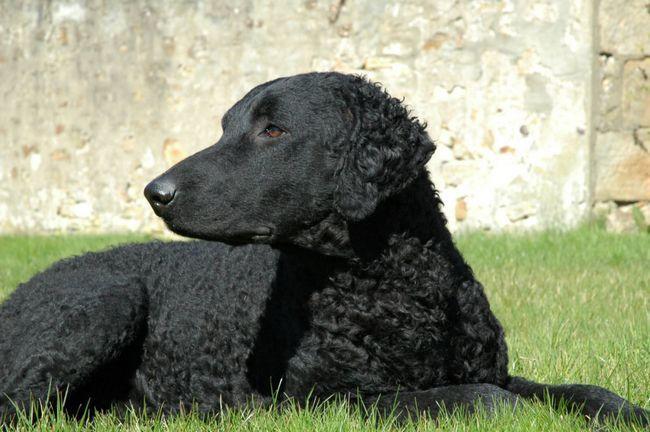Чорний Керлі лежить в траві