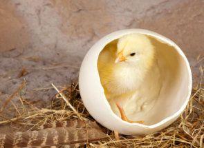 Курка несучка: коли чекати потомство?