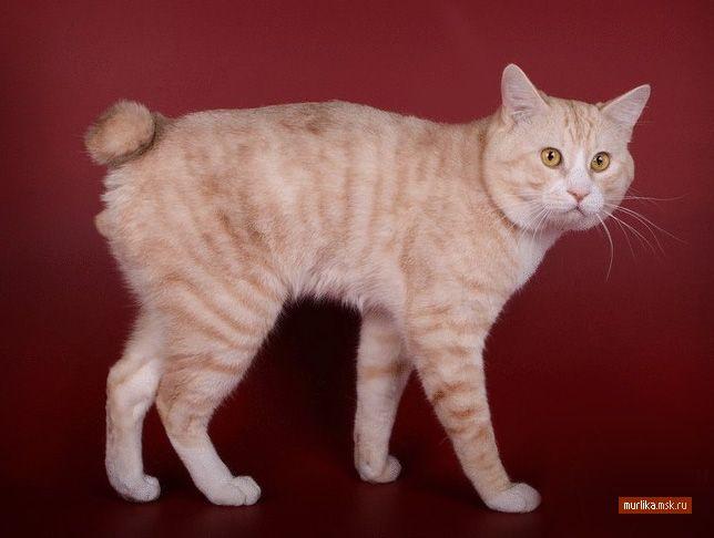 Курильський бобтейл, курильське бобтейл порода кішки