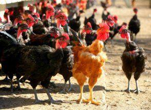 Курячий бізнес: шпаргалка для підприємливих птахівників