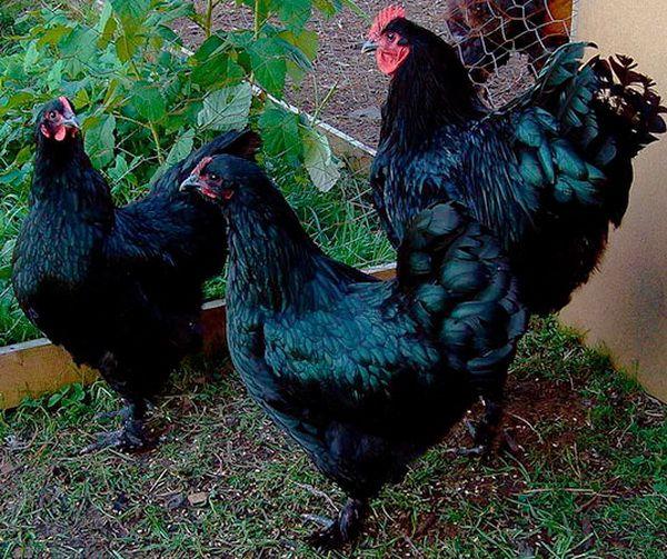 Чорні кури лангшан