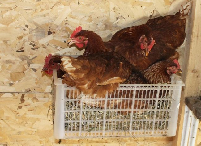 Птахи сидять в пластиковому ящику
