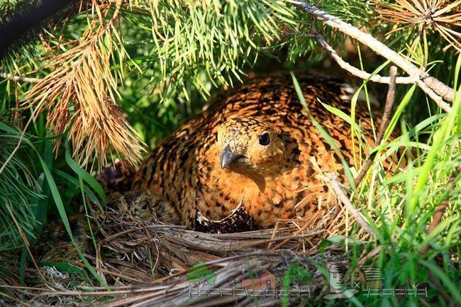 Куріпка - відмінна птах для домашнього бізнесу