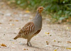 Куріпки у дворі: розводимо мініатюрних сірих пташок