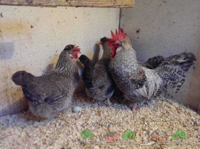 Кури легбар - хороші несучки і прикраса пташиного двору
