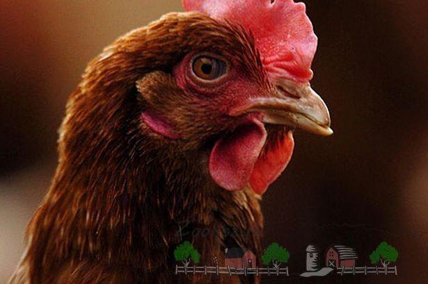 Кури ломан браун - рекордсменки в яєчної продуктивності