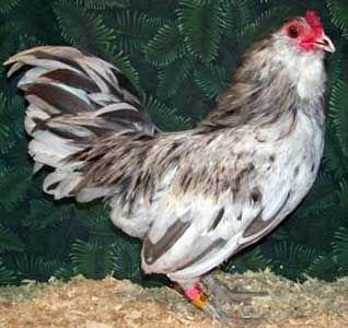 Кури породи амераукана