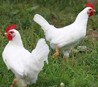 Кури породи білий леггорн